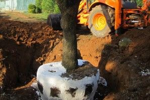 plantació d'arbres de grans dimensions